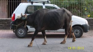 La vaca es el animal que goza de mayor respeto en la India.